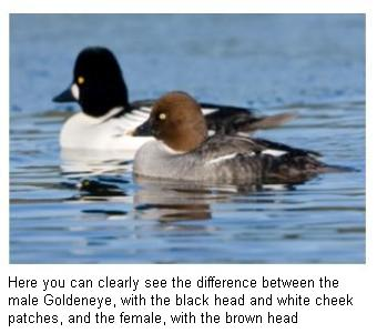 Pair of Common Goldeneye on a Canadian lake