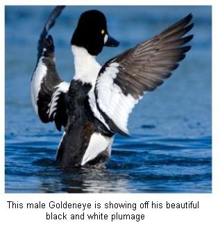 Common Goldeneye with outspread wings on a Canadian lake
