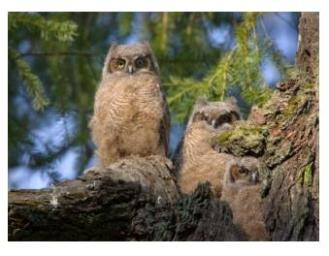 Two young Great Horned Owlet babies