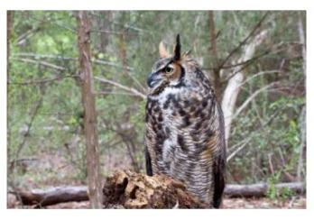 Great Horned Owl sitting on a log in the forest
