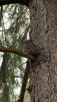 Screech Owl in Ontario