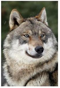 Wolf - Wolves in Canada