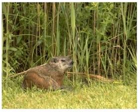 Groundhog in the grass