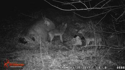Haldimand County Coyotes on trail-cam