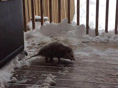 Goderich Possum