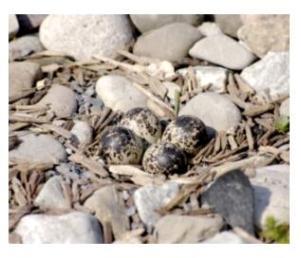 Killdeer nest - le nid du pluvier