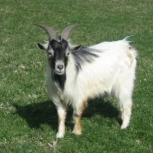 african pygmy goat buck