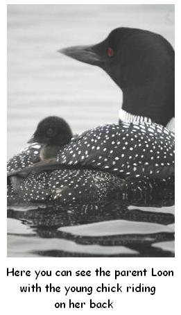 Le Houard avec huard petit parent loon with baby on his back, great northern diver