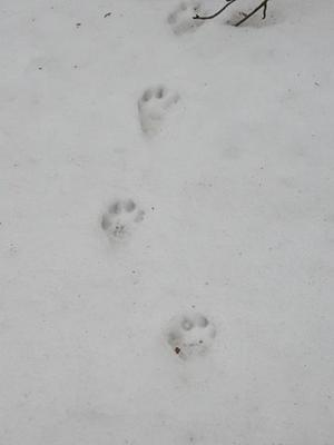 animal prints in the snow