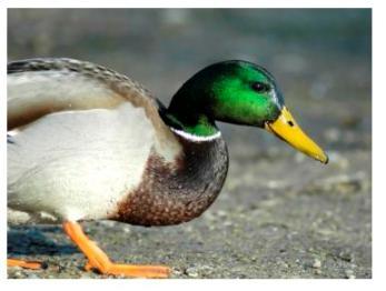 Male Malard Duck - le canard