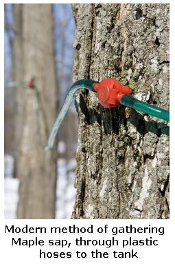 Modern method of collecting Maple Sap