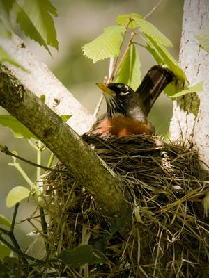 robin on nest in Ontario