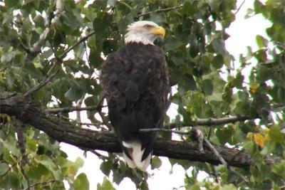 Bald Eagles in Brantford