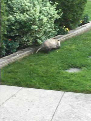 Possum in the morning, Ontario