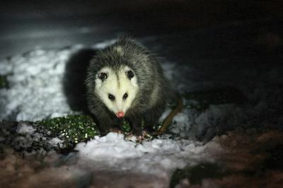 Possum in Grimsby, Ontario