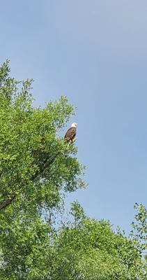 Bald Eagle near Mountsberg Conservation Area