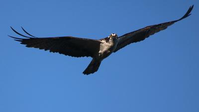 Maitland Osprey