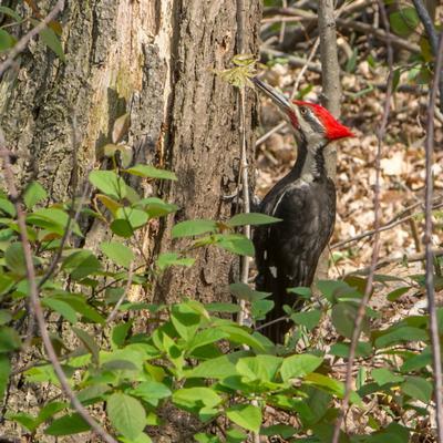 Pileated Woodpecker - Georgetown