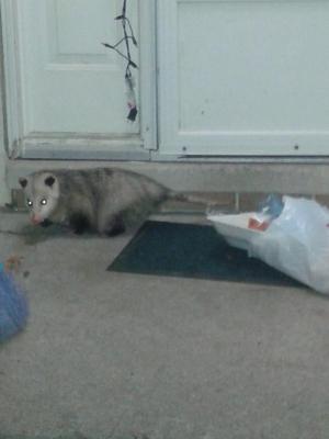 Possum in our front door
