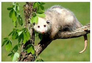 Canadian animals Possum in a tree