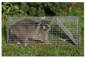 Raccoon caught in a Live Trap Cage