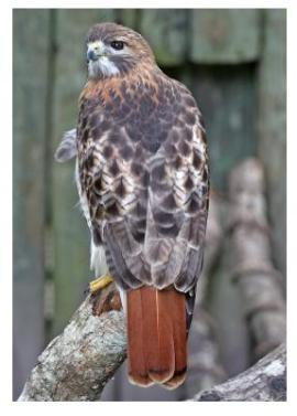 A Red Tail Hawk standing on a tree stump