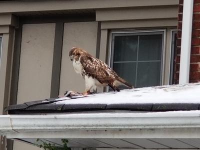 Red Tailed hawk on neighbour's roof, Mimico, Ontario