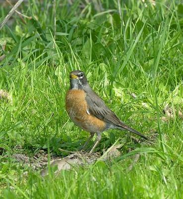 Summertime Robin