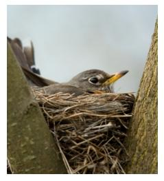 Mother Robin on her nest