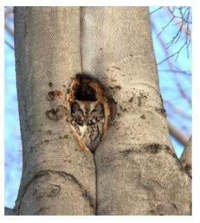 Screech owl asleep in a hole in a tree