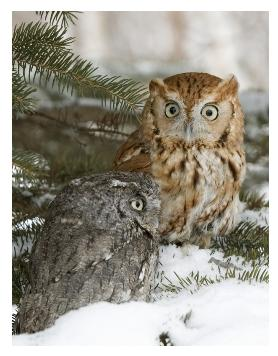 Two Screech owls on a tree in the snow