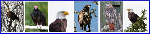 Six Raptors or Birds of Prey, Bald Eagle, Turkey Vulture, Golden Eagle, Red Tailed hawk