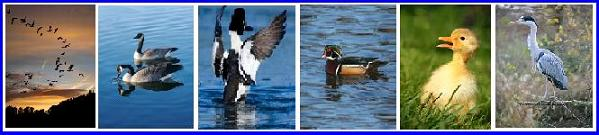 Ontario Waterfowl Canada Geese, Ducks, Ducklings, Blue Heron