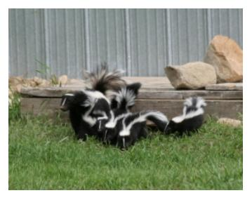 Family of Skunks in a backyard on grass