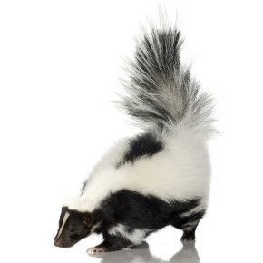 Black and white skunk with tail raised