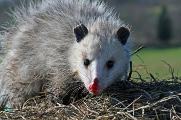 Perhaps it was a Possum?
