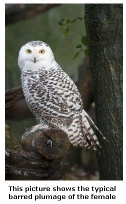 Female Snowy Owl showing plumage