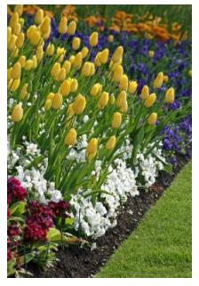Spring bulbs, daffodils, tulips and hyacinths in Ontario