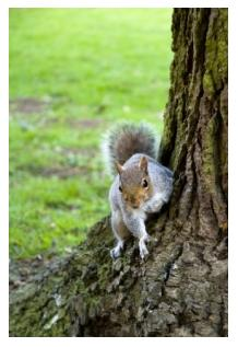 Grey squirrel sitting at the bottom of a tree with grass background