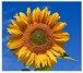 Sunflower of summer in Ontario