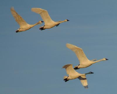 Tundras in flight, Ontario