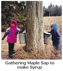 tapping maple trees for sap in the spring, Aylmer, Ontario