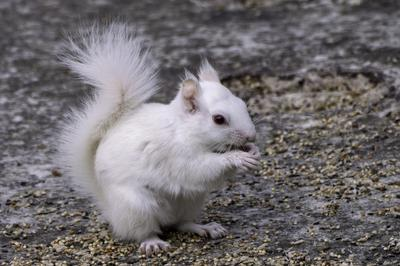 White albino squirrel in Thornbury Ontario
