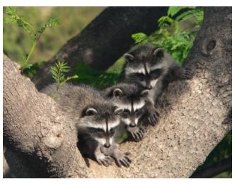 Three Baby raccoons sitting in a tree waiting for their mother