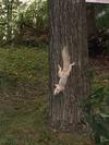 Morning Visitor - White Squirrel