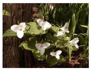 Trillium plant in spring in Ontario