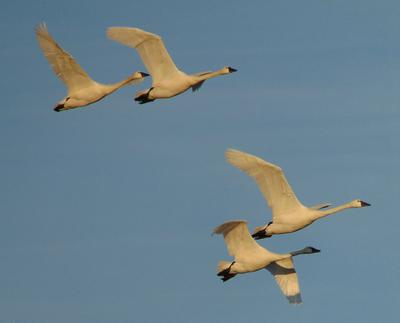 Tundra Swans in flight - courtesy of Daniel S Bennett, St Thomas, Ontario