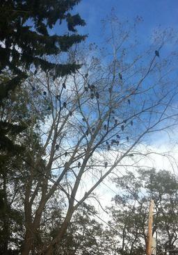 Turkey Vultures roosting in a tree, Port Stanley, Ontario, 2018
