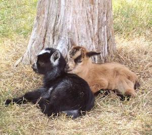 african pygmy goat twins