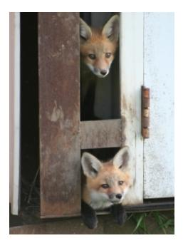 Two young foxes looking out of a barn door - petits renards